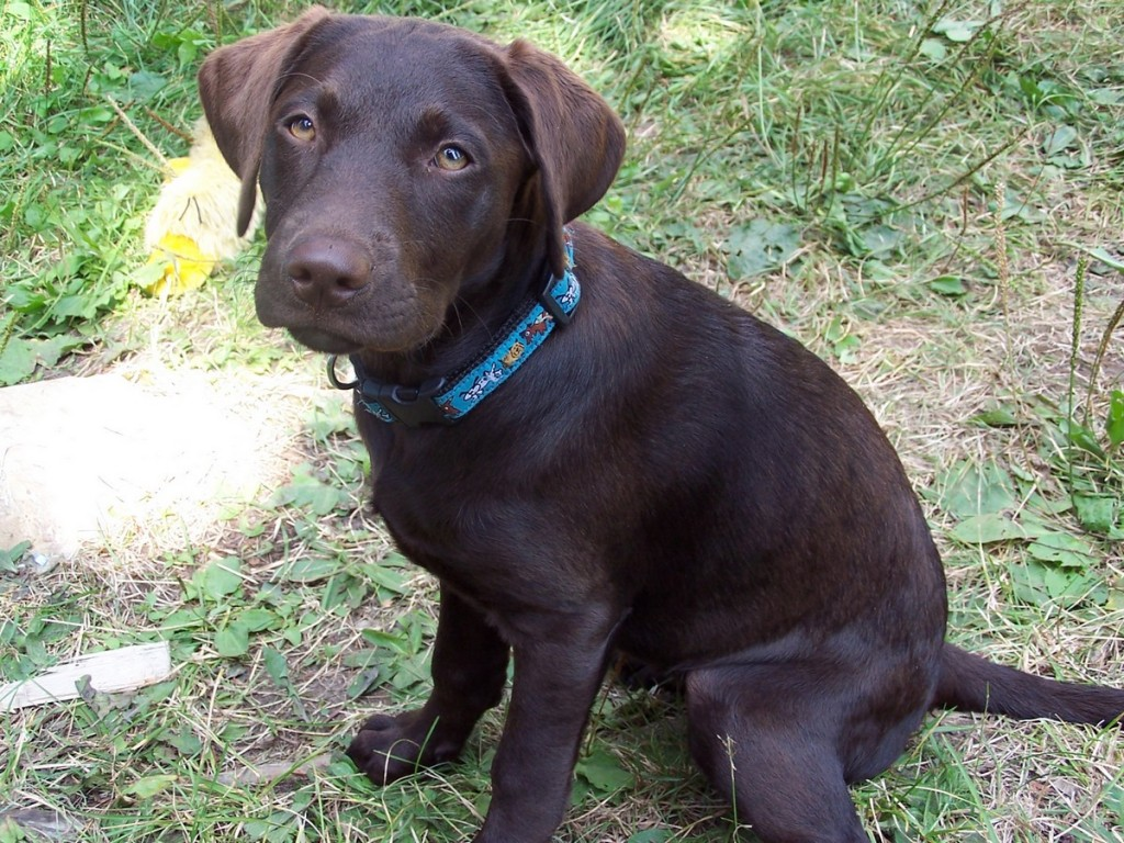 Chocolate labs are awesome