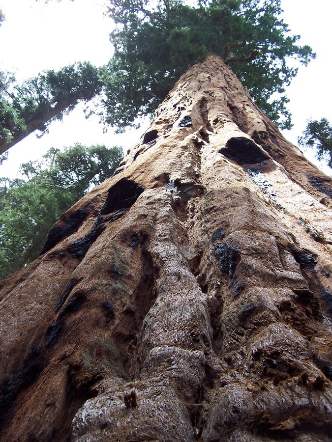 Looking up the trunk of a Sequoia