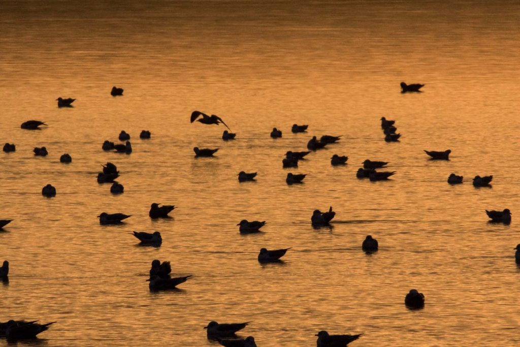 Lake Temiskaming - Seagulls at sunrise